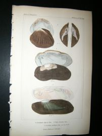 Cuvier C1835 Antique Hand Col Print. Shells #36A